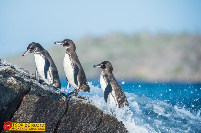 Pinguini alle Galapagos