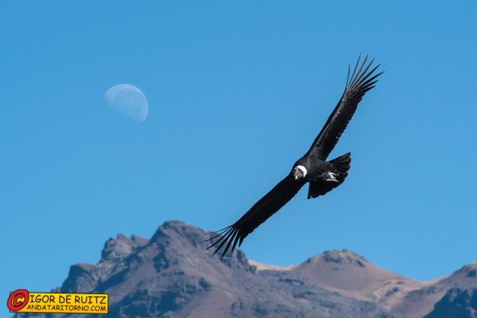 I condor nel Canyon del Colca