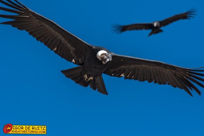 Il condor