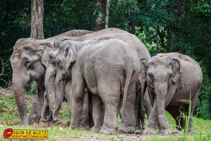Elefanti selvaggi al parco nazionale Khao Yai