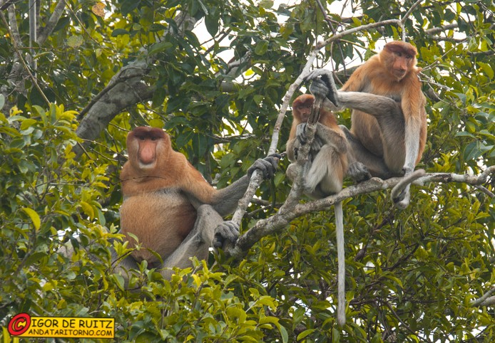 Scimmie nasciche al Tanjung Puting