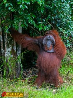 Orang utan al Tanjung Puting National Park