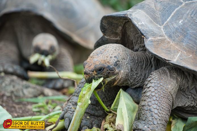 Tartagughe alle Galapagos