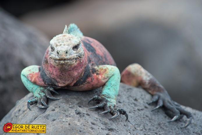 Iguana rosa delle Galapagos