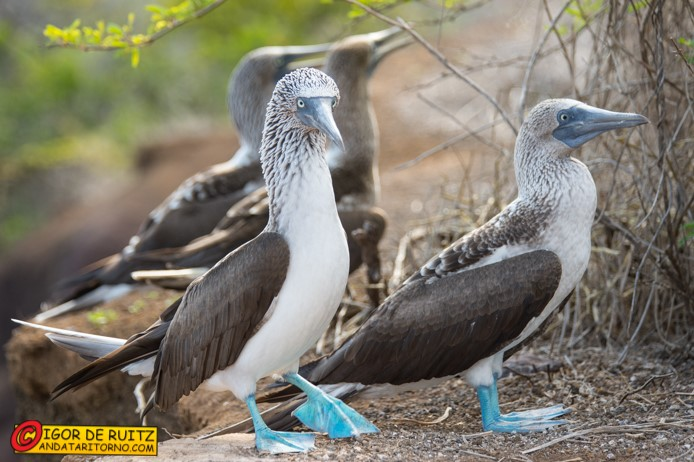 Sula dai piedi azzurri alle Galapagos