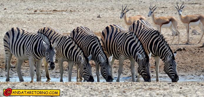 Zebre (zebras) e antilopi (springbok) nel Etosha Nationa Park in Namibia