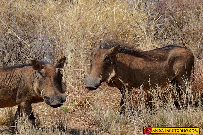 Facoceri lungo la strada B1 in Namibia