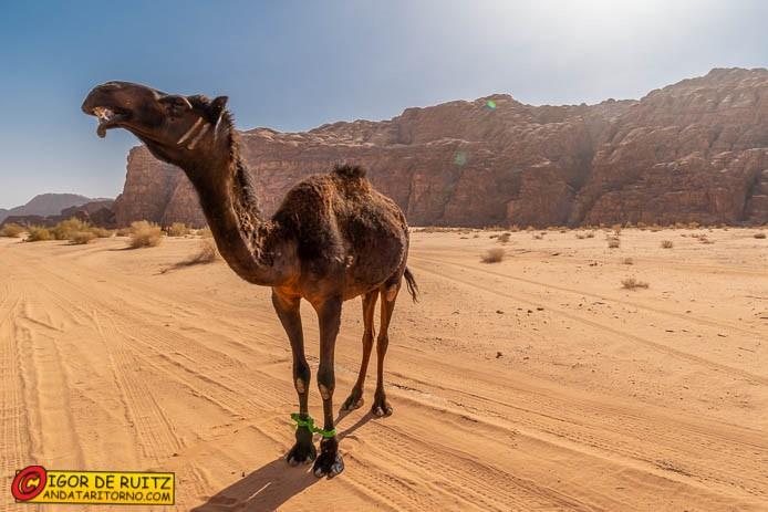Cammelli a Wadi Rum